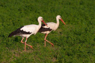 Fülöp a bodrogkeresztúri gólya