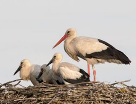 Elpusztult Fülöp a Bodrogkeresztúri fehér gólya